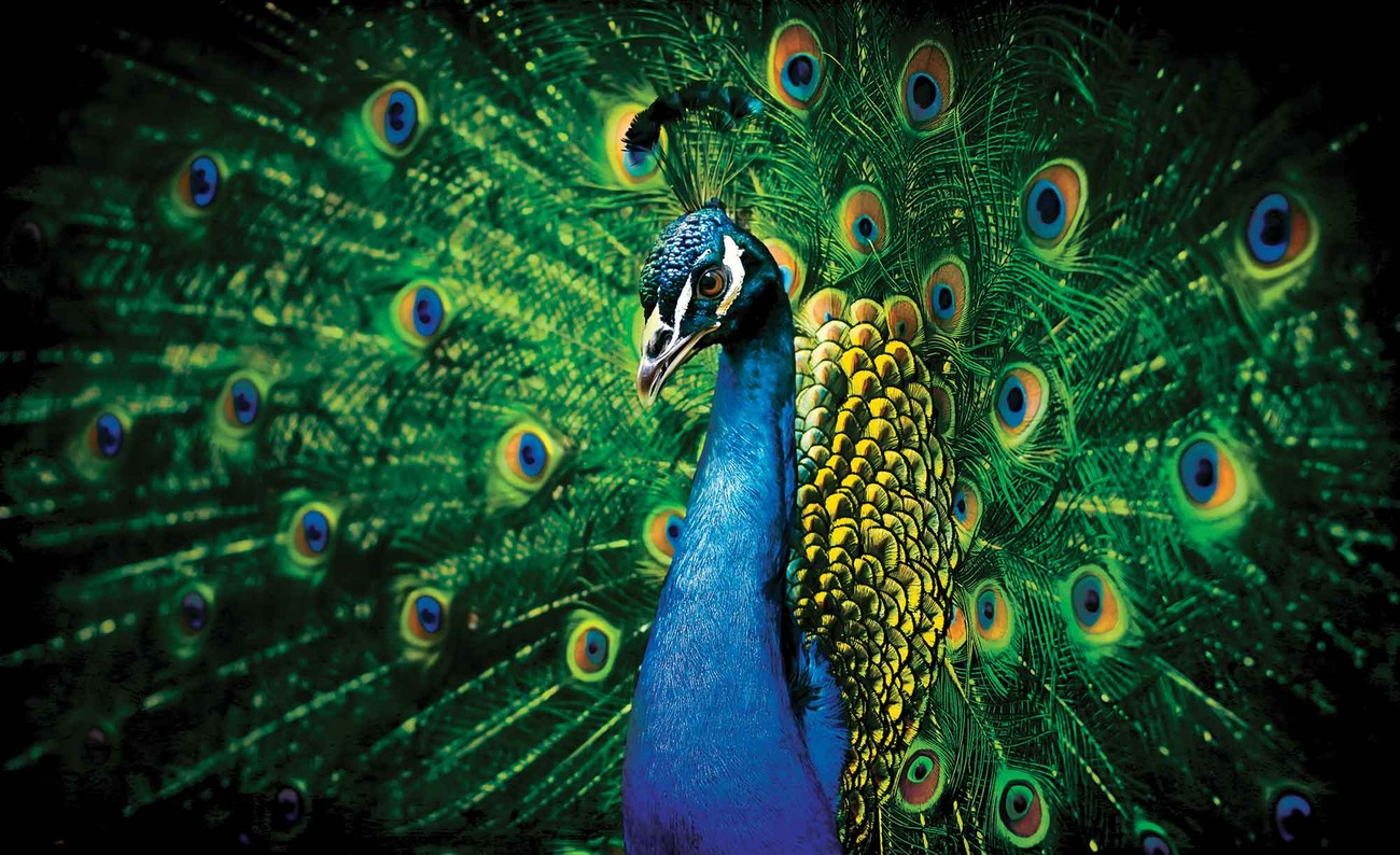 essay on peacock bird The peacock is a very beautiful bird it is found in most parts of india peacock is our national bird peacocks are of bright greenish-blue colour.