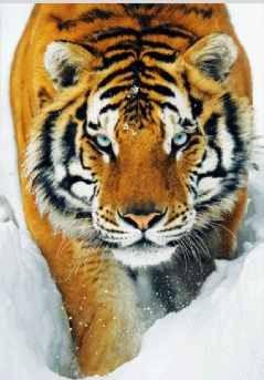 3D Julisteet Tiger - snow 3D