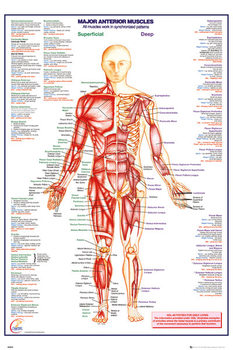 Corps Humain - Major Anterior Muscles Affiche