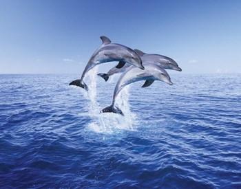 Dolphin trio Affiche