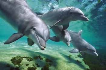 Dolphins underwater Affiche