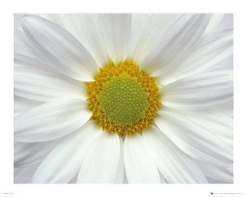 Fleurs - Marguerite 2 Affiche