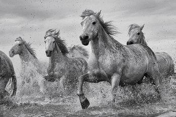 Les chevaux - Camargue Horses Affiche