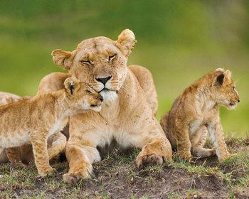 Lionne avec ses oursons Affiche