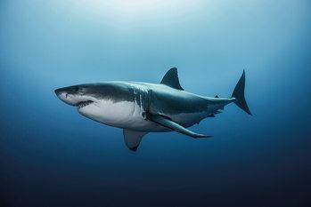 Requin Affiche