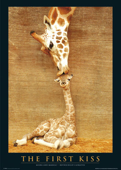 The first kiss - giraffes Affiche