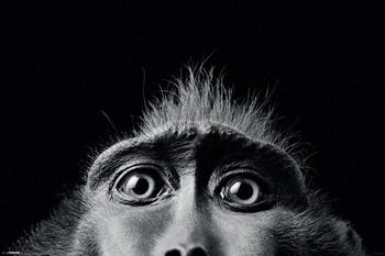 Tim Flach - monkey eyes Affiche