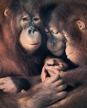 Tim Flach - Orangutan Family Affiche