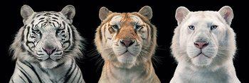Tim Flach - tiger breeding series Affiche