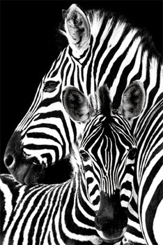 Zebra Affiche