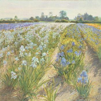 Fine Art Print Blue and White Irises, Wortham