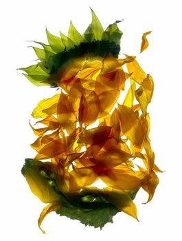 Fine Art Print Chiquita Sunflower