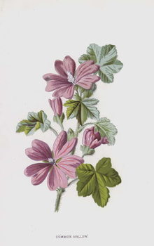 Fine Art Print Common Mallow