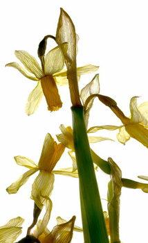 Fine Art Print Daffodil Stand