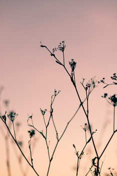 Art Photography Dried plants on a pink sunset