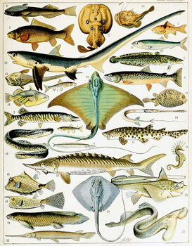 Fine Art Print Illustration of  Fish  c.1923