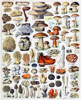 Fine Art Print Illustration of  Mushrooms  c.1923