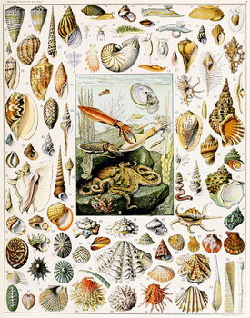 Fine Art Print Illustration of  Seashells  c.1923