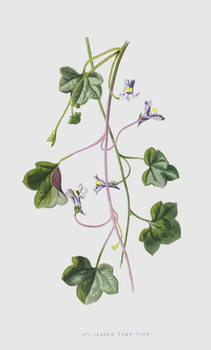 Fine Art Print Ivy-Leaved Toad-Flax