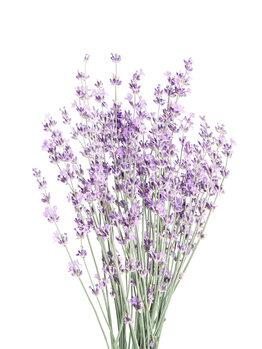 Taide valokuvaus Lavender