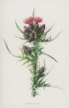 Fine Art Print Marsh Thistle