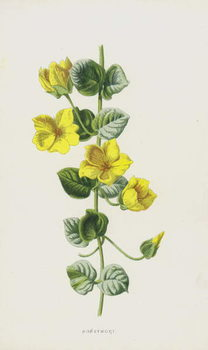 Fine Art Print Moneywort