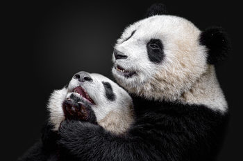 Art Photography Pandas
