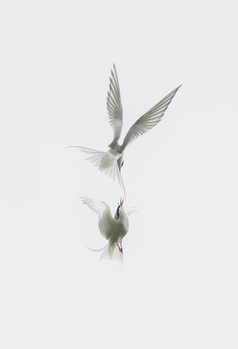 Art Photography Tern