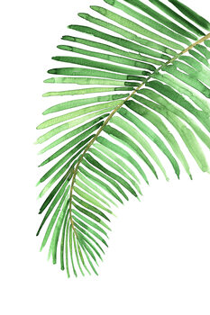 Illustration Watercolor palm leaf