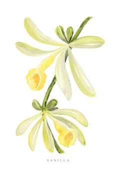 Illustration Watercolor vanilla orchid illustration