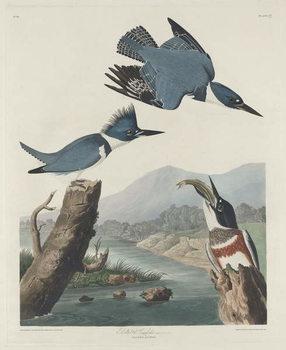 Reprodução do quadro Belted Kingsfisher, 1830