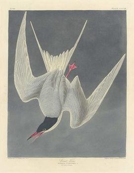 Reprodução do quadro Great Tern, 1836