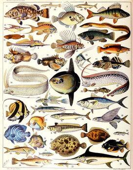 Reprodução do quadro Illustration of Marine Fish c.1923