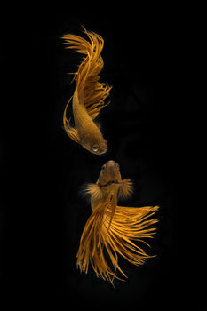 Arte Fotográfica Exclusiva Love Story of the Golden Fish