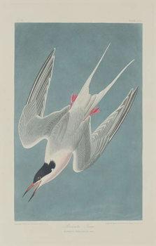 Reprodução do quadro Roseate Tern, 1835