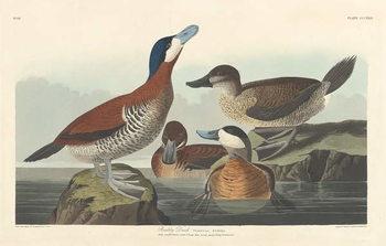 Reprodução do quadro Ruddy duck, 1836