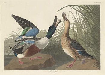 Reprodução do quadro Shoveller Duck, 1836