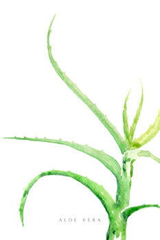 Ilustração Watercolor aloe vera illustration