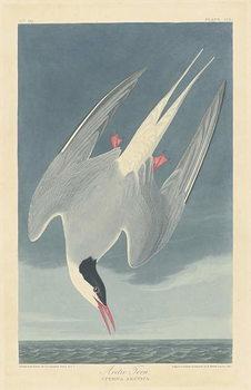 Reprodução do quadro Arctic Tern, 1835