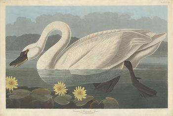 Reprodução do quadro  Common American Swan, 1838