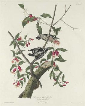 Reprodução do quadro Downy Woodpecker, 1831
