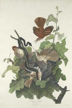 Reprodução do quadro Ferruginous Thrush, 1831