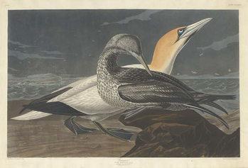Reprodução do quadro Gannet, 1836