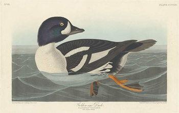 Reprodução do quadro  Golden-eye Duck, 1836