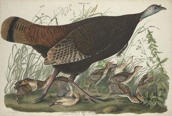 Reprodução do quadro  Great American Hen and Young, 1827