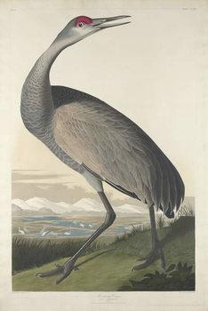 Reprodução do quadro Hooping Crane, 1835