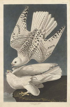 Reprodução do quadro  Iceland or Jer Falcon, 1837