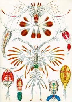 Reprodução do quadro Illustration of  Copepods,  c.1909
