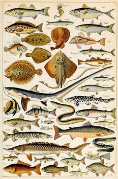 Reprodução do quadro Illustration of Edible Fish, c.1923