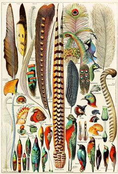 Reprodução do quadro Illustration of feathers and birds c.1923